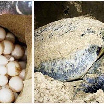xem rùa đẻ trứng tại Côn Đảo
